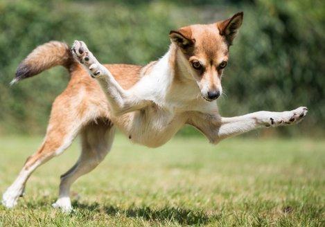 Afbeeldingsresultaat voor noorse lundehund